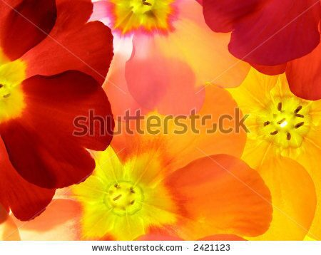 stock-photo-close-up-of-primula-flower-against-white-background-2421123