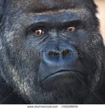 stock-photo-face-portrait-of-a-silverback-gorilla-male-severe-chief-of-the-monkey-family-menacing-look-of-a-150028859