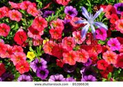 stock-photo-flowering-red-petunia-dwarf-with-blue-agapanthus-flower-85396636
