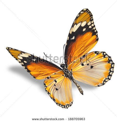 stock-photo-beautiful-orange-butterfly-flying-isolated-on-white-background-188705963