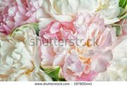 stock-photo-fresh-bright-blooming-peonies-flowers-with-dew-drops-on-petals-197900441