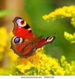 stock-photo-european-peacock-butterfly-inachis-io-on-a-yellow-flower-60054799