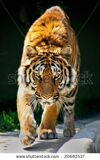 stock-photo-tiger-walking-toward-me-and-staring-eyes-to-eyes-tiger-panthera-tigris-altaica-20683537