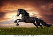 stock-photo-black-friesian-horse-gallop-113656447