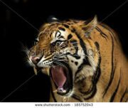stock-photo-sumatran-tiger-roaring-185752043