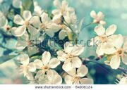 stock-photo-flowers-of-the-cherry-blossoms-on-a-spring-day-84936124
