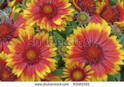 stock-photo-gaillardia-x-grandiflora-blanket-flower-93585355