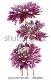 stock-photo-studio-shot-of-burgundy-colored-dahlia-flowers-isolated-on-white-background-large-depth-of-field-189653138