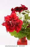 stock-photo-red-geranium-flowers-52515283