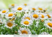 stock-photo-green-grass-and-chamomiles-in-the-nature-131930447