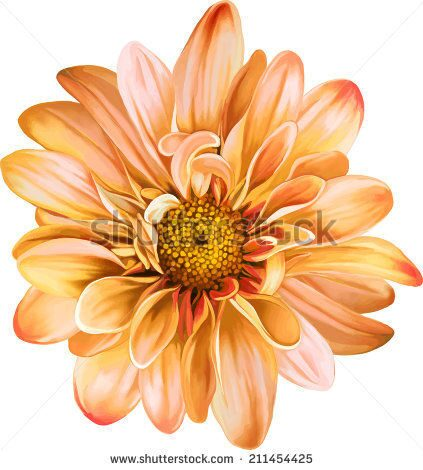 stock-vector-orange-chrysanthemum-flower-yellow-flower-spring-flower-isolated-on-white-background-ve
