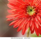 stock-photo-gerbera-flower-124175101