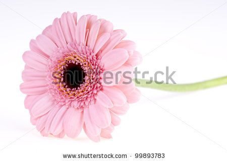 stock-photo-pink-gerbera-close-up-99893783