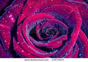 stock-photo-rose-with-water-drops-macro-shot-with-shallow-depth-of-field-color-toned-image-178775573