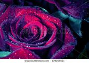 stock-photo-rose-with-water-drops-macro-shot-with-shallow-depth-of-field-color-toned-image-179255591