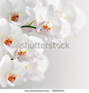 stock-photo-white-orchidea-on-the-grey-background-190976174