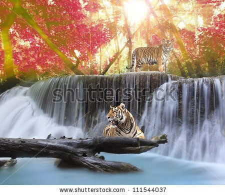 stock-photo-tiger-in-the-jungle-111544037