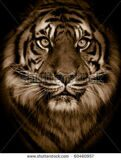 stock-photo-dramatic-tiger-portrait-60460957