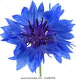 stock-photo-dark-blue-cornflower-isolated-on-white-155069276