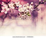 stock-photo-cherry-blossoms-over-blurred-nature-background-spring-flowers-spring-background-with-bokeh-178301834