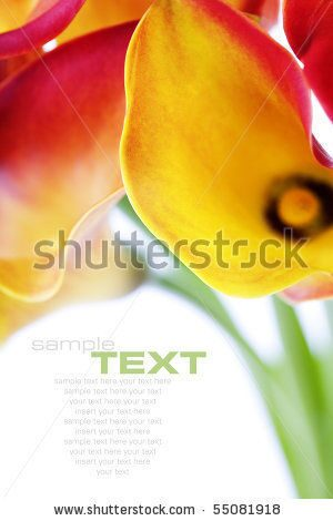 stock-photo-beautiful-calla-lilies-isolated-on-white-with-soft-shadow-55081918