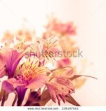stock-photo-pink-alstroemeria-isolated-on-white-background-closeup-108497564