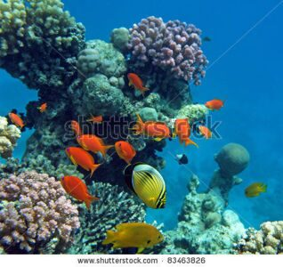 stock-photo-tropical-fish-of-the-red-sea-coral-reef-83463826