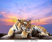 stock-photo-tiger-looking-something-on-the-rock-with-beautiful-sky-at-sunset-time-160773500