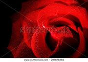 stock-photo-rose-black-background-macro-photo-with-drops-of-dew-rose-black-background-207878869
