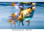 stock-photo-ryukin-goldfish-in-home-aquarium-198314342